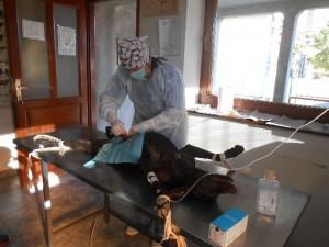 014_Sterilizacija psičke v Ugrinovcih